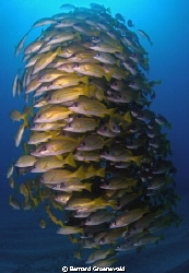 School of Yellow Snapper by Bernard Groenewald
